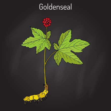 Goldenseal Hydrastis canadensis , medicinal plant Illustration