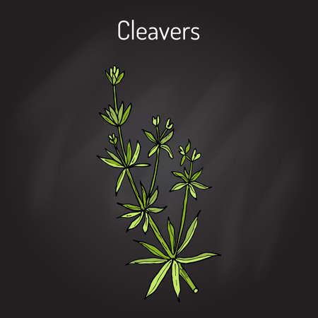 weeds: Cleavers Galium aparine , or goosegrass, catchweed, stickyweed, medicinal herb.