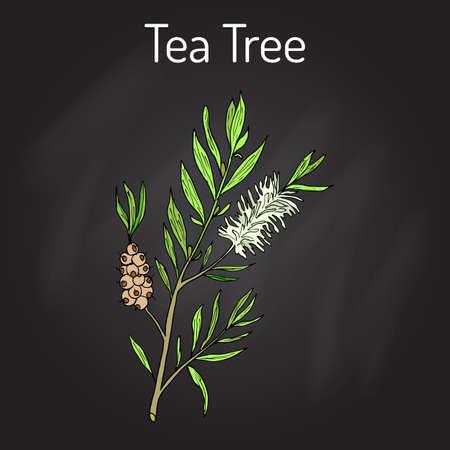 Tea tree Melaleuca alternifolia , or narrow-leaved paperbark - medical plant. Hand drawn botanical vector illustration Illustration