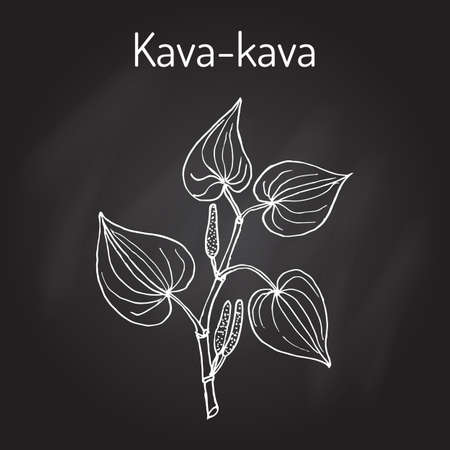 Kava-kava piper methysticum , medicinal plant. Hand drawn botanical vector illustration