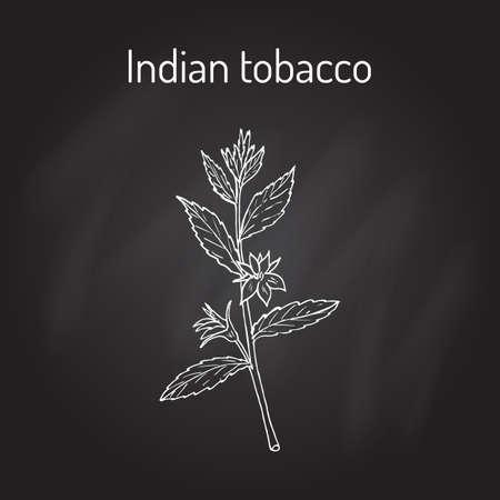weeds: Indian Tobacco Lobelia inflata , or Asthma weed, pukeweed, gagroot, medicinal herb Illustration