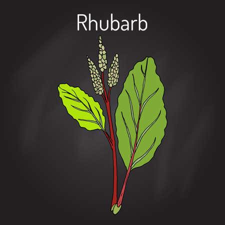 Rhubarb Rheum rhabarbarum , culinary and medicinal plant. Hand drawn botanical vector illustration