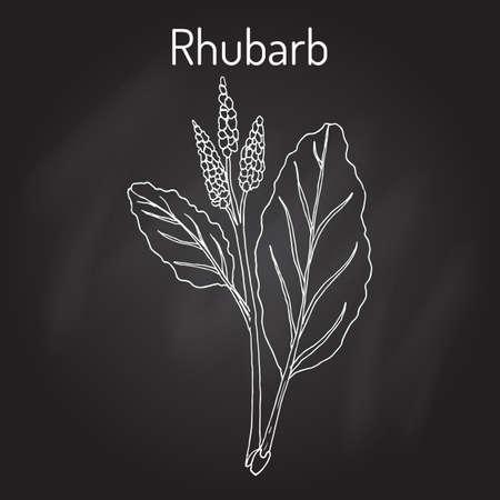 Rhabarber Rheum rhabarbarum, kulinarische und Heilpflanze. Hand gezeichnet botanische Vektor-Illustration