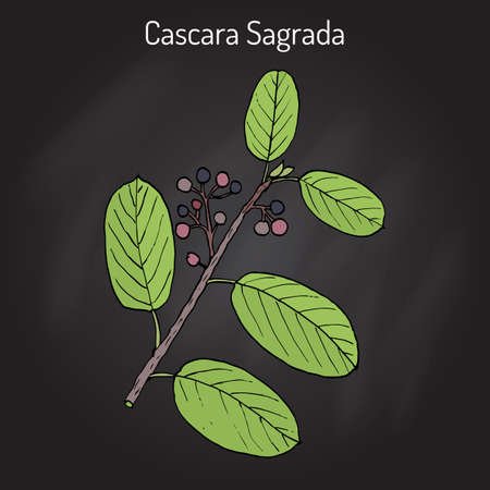Cascara sagrada Rhamnus purshiana , or persian bark, medicinal plant. Hand drawn botanical vector illustration Illustration