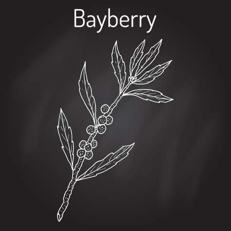 repellent: Bayberry Myrica cerifera , or southern wax myrtle, candleberry, tallow shrub, medicinal plant. Hand drawn botanical vector illustration.