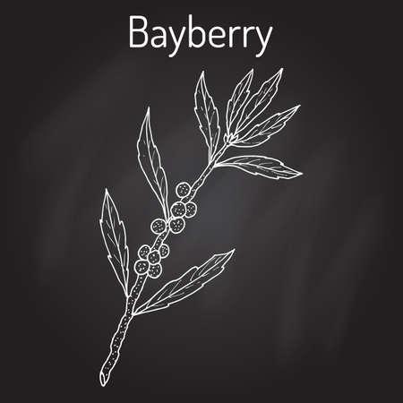 Bayberry Myrica cerifera , or southern wax myrtle, candleberry, tallow shrub, medicinal plant. Hand drawn botanical vector illustration.