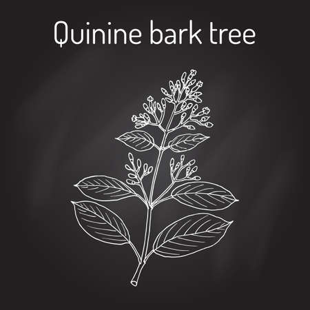 officinalis: Quinine Bark Tree Cinchona officinalis , medicinal plant. Hand drawn botanical vector illustration