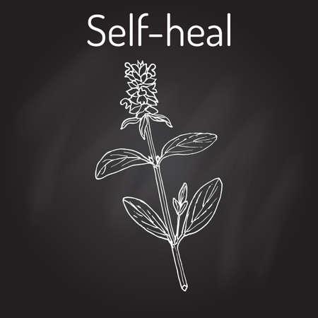 salat: Self-heal Prunella vulgaris , or allheal, medicinal plant. Hand drawn botanical vector illustration