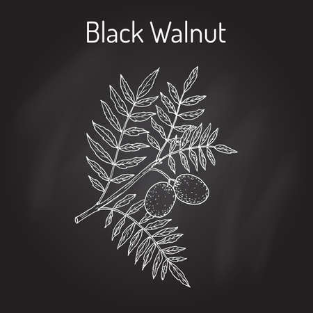 horticultural: Eastern black walnut Juglans nigra . Hand drawn botanical vector illustration