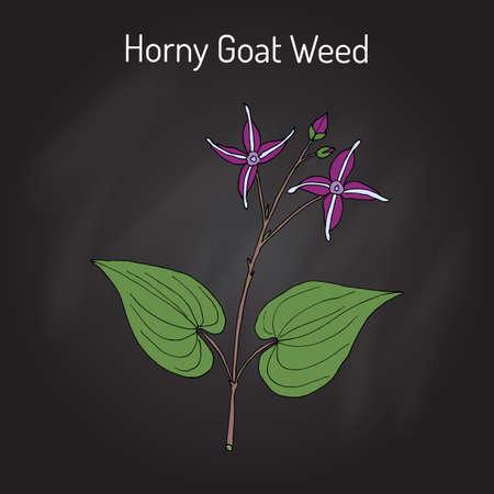 Horny Goat Weed Epimedium sagittatum, planta medicinal. Dibujado a mano ilustración vectorial botánico Foto de archivo - 75105048