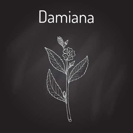 Damiana Turnera diffusa , medicinal plant. Hand drawn botanical vector illustration Illustration