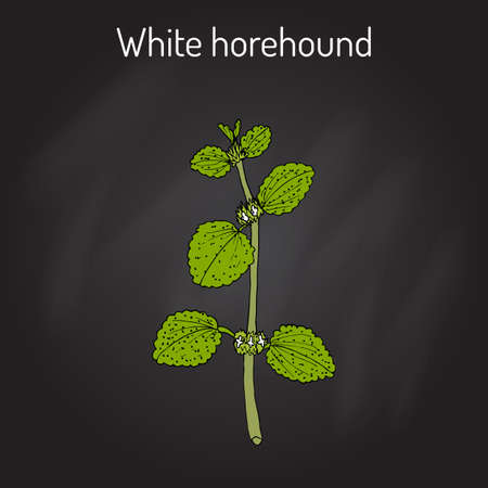White horehound Marrubium vulgare , medicinal plant. Hand drawn botanical vector illustration Illustration