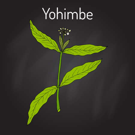Yohimbe Pausinystalia johimbe , medicinal plant. Hand drawn botanical vector illustration