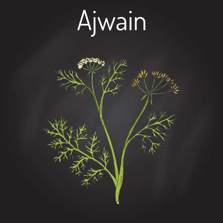 Ajwain trachyspermum ammi , or ajowan caraway, bishop weed, carom - spice herb. Hand drawn botanical vector illustration
