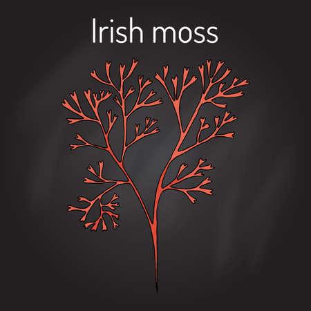 weeds: Irish moss Chondrus crispus , red alga. Hand drawn botanical vector illustration