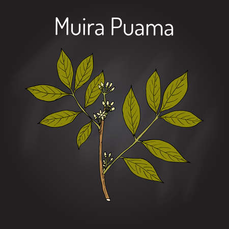Muira Puama Ptychopetalum olacoides , or Potency wood, medicinal plant. Hand drawn botanical vector illustration
