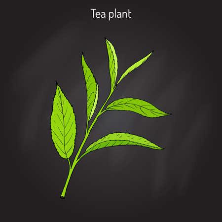 Tea plant Camellia sinensis