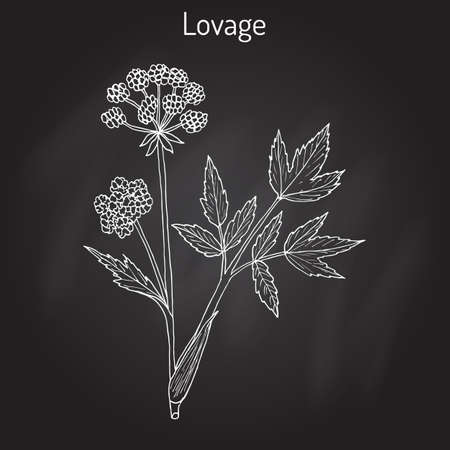 lovage: Lovage levisticum officinale , culinary and medicinal herb Illustration