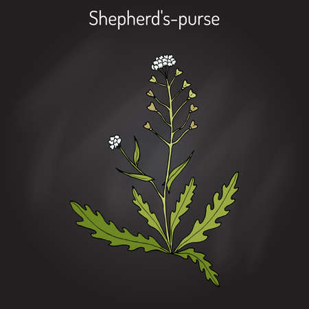 weeds: Shepherd s purse Capsella bursa-pastoris , medicinal herb