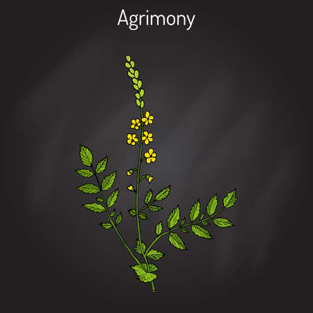 genital: Medicinal plant - common agrimony agrimonia eupatoria Illustration
