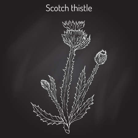 Cotton or Scotch Thistle Onopordum acanthium , medicinal plant Çizim