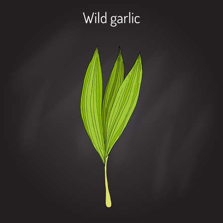 Wild leek, bear garlic Allium ursinum , or ramsons, buckrams, medicinal plant