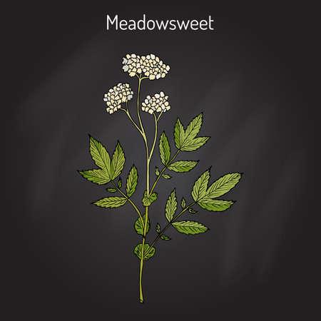 Meadowsweet Filipendula ulmaria , medicinal plant