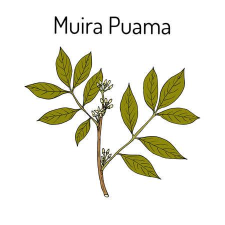 Muira Puama Ptychopetalum olacoides , or Potency wood, medicinal plant