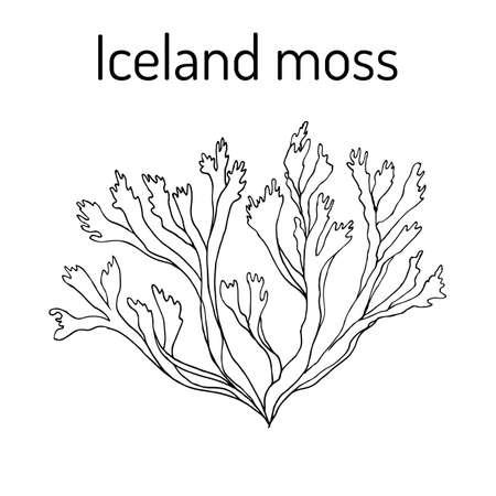 Iceland moss Cetraria islandica , medicinal plant Çizim