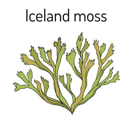 Iceland moss Cetraria islandica , medicinal plant Ilustrace