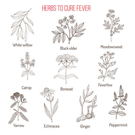 Herbs for fever cure Illustration