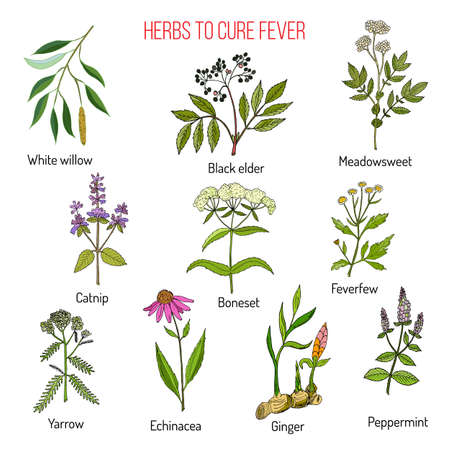 Herbs for fever cure Vector illustration.