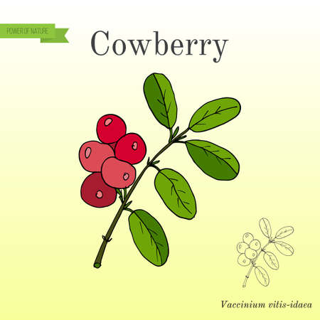 Wild forest ripe cowberries and leaves. Hand drawn botanical vector illustration Illustration