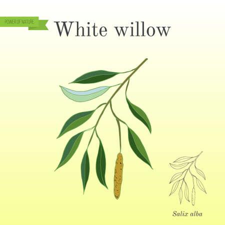 White willow branch salix alba. Hand drawn botanical vector illustration Illusztráció