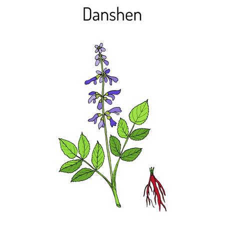 Danshen Salvia miltiorrhiza , called also chinese sage, medicinal plant 向量圖像