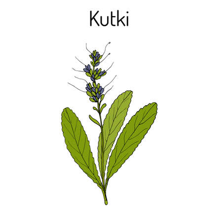 Kutki Picrorhiza kurroa, pianta medicinale. Illustrazione vettoriale botanica disegnata a mano Archivio Fotografico - 88630454
