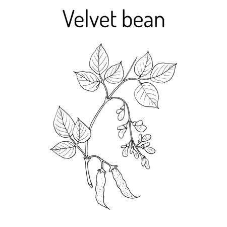 Velvet bean Mucuna pruriens , medicinal plant. Hand drawn botanical vector illustration Çizim