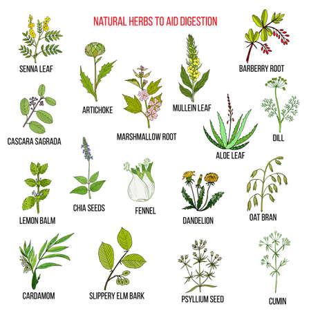 Remédios de ervas para digestão de ajuda. Jogo de vetores desenhados à mão de plantas medicinais