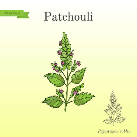 Patchouli Pogostemon cablin , also patchouly or pachouli - aromatic and medicinal plant. Hand drawn botanical vector illustration