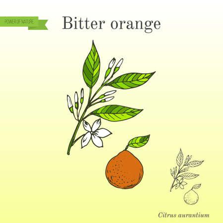 Bitter orange, Seville orange, sour orange, bigarade orange, or marmalade orange, twig with flowers. Hand drawn botanical vector illustration