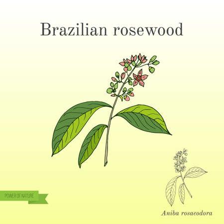 Aniba rosaeodora oder brasilianisches Rosenholz oder Rosenholz. Hand gezeichnete botanische Vektorillustration Standard-Bild - 88764884