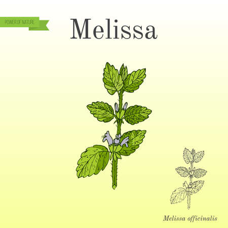 Melissa, known as lemon balm, aromatic kitchen and medicinal herb. Hand drawn botanical vector illustration