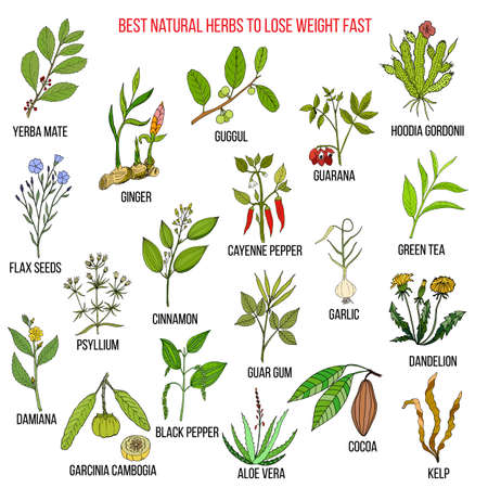Best natural herbs for fast lose weight. Hand drawn vector set of medicinal plants.