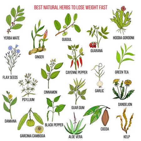 Beste natürliche Kräuter für schnelles Gewicht verlieren. Hand gezeichneter Vektorsatz medizinische Anlagen. Vektorgrafik