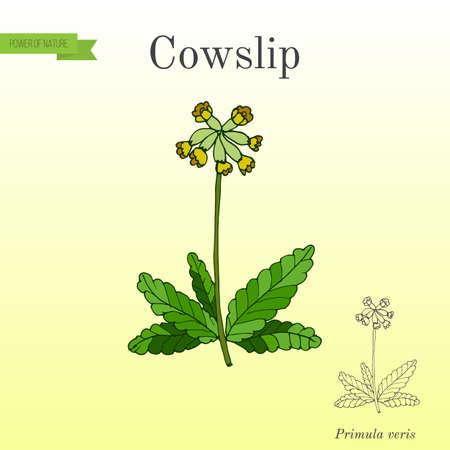 Primula veris common cowslip, medicinal plant vector illustration. Ilustração