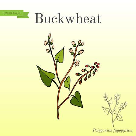 Buckwheat Polygonum fagopyrum vector illustration.