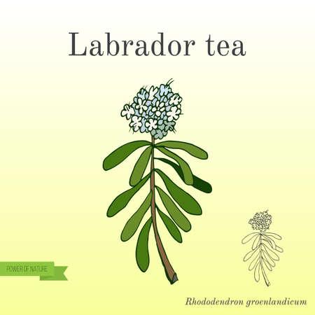 Labrador tea Ledum or Rhododendron groenlandicum - medicinal plant. Hand drawn botanical vector illustration.