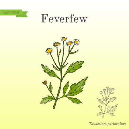Feverfew - medicinal plant. Hand drawn botanical vector illustration.