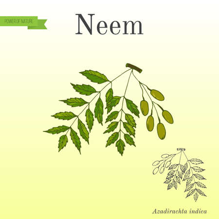 Neem tree, medicinal plant. Hand drawn botanical vector illustration