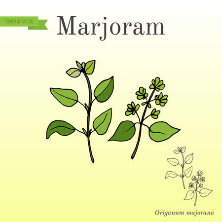 Aromatic herbs collection - marjoram